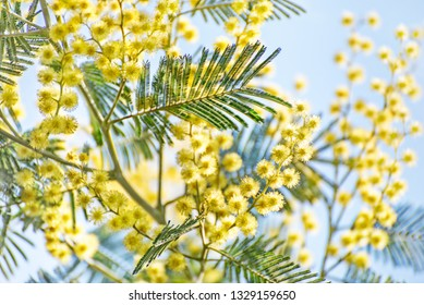 Lush blooming branch of mimosa tree with yellow flowers against clear blue sky. Spring floral natural background.