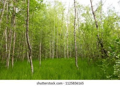 Lush bright green birch grove