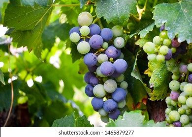 Lush bunches of grape on the vine.