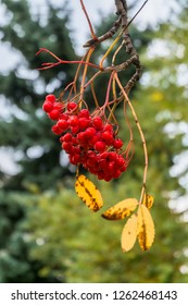 Lush bunches of ripe red ashberry during the golden autumn.