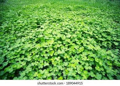 Lush clover in the spring, outdoor park