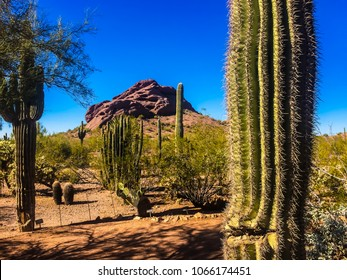 Lush desert landscape with giant saguaro cacti, organ pipe cactus, cholla cactus, barrel cacti, prickly pear cactus and creosote bushes providing a frame for the Papago Buttes and the blue sky