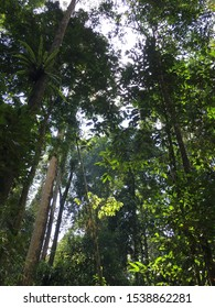 Lush dipterocarp rain forest with tall and thin trees growing upward.