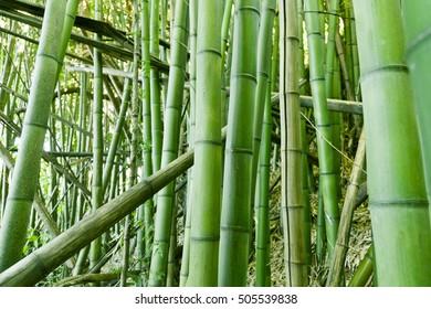 Lush, exotic, fresh  green bamboo jungle background