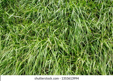 Lush, fast-growing diploid Italian ryegrass grown by farmers for nutritious rural stock feed and silage