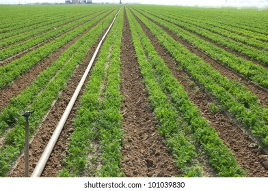 A lush field of carrots must be irrigated in California's dry San Joaquin Valley