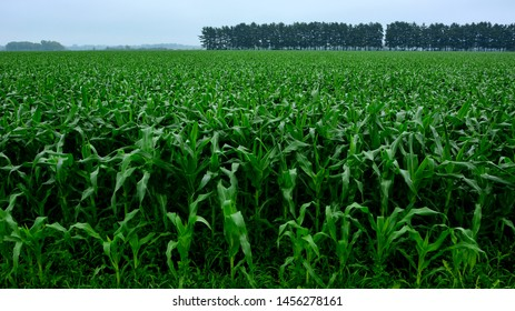 A lush field of healthy Maize or corn crops under rain clouds showing their bright green colors.
