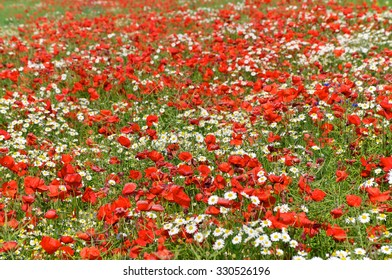 Lush flower meadow with red poppies, chamomile and cornflowers