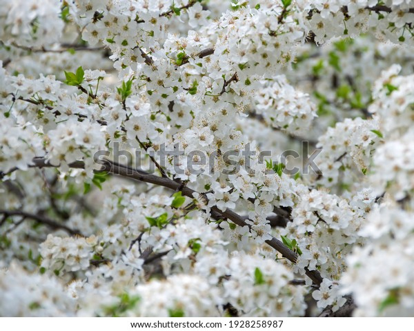 lush-flowering-cherry-city-garden-600w-1