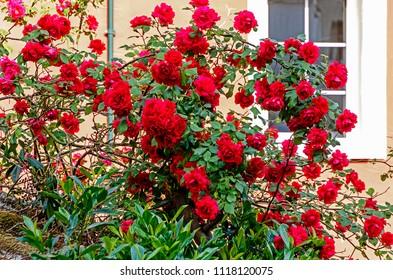 Lush flowering high red climbing rose bush in front of white window