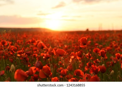 lush flowering red wild poppies at sunset.