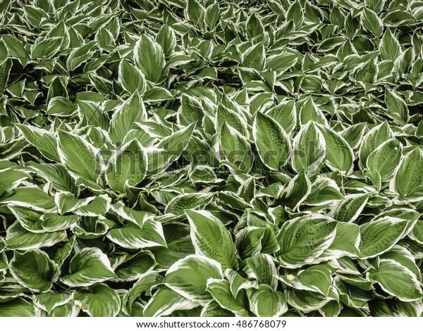 Lush Foliage Hosta White Edges Spring Stock Photo Edit Now 486768079