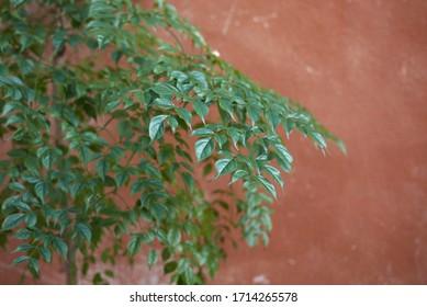 lush foliage of Radermachera sinica tree