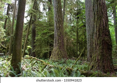 The lush forest of Cathedral Grove located in MacMillan Provincial Park in Alberni Highway, Nanaimo, British Columbia, Canada