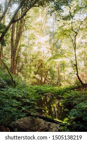 Lush Forest and Creek, Bunya Mountains