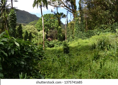 Lush forest scene, deep in the green forest, Manoa Falls, Oahu, Hawaii, USA