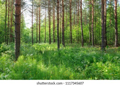 Lush forest at summer in Finland