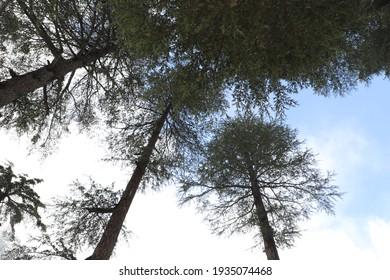 Lush Green Alpine Trees, view at sunrise