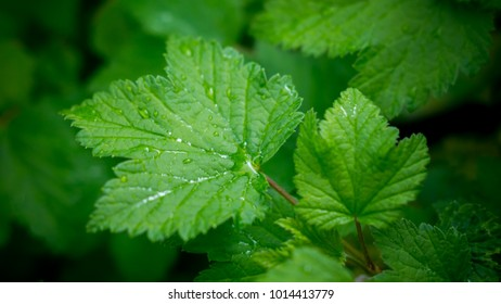 Lush green black currant leaves on a blurry background, one leaf covered with dew