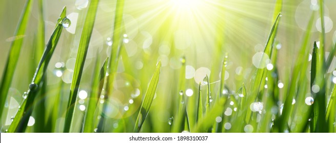 Lush green blades of grass with transparent water drops on meadow close up. Fresh morning dew at sunrise. Panoramic spring nature background.