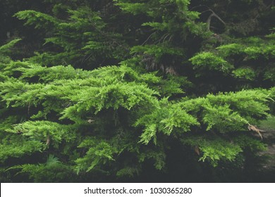 Lush green branches of conifer tree (cedar) in dark environment
