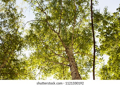 Lush green crown of a birch tree in a forest against a sky background from below upwards