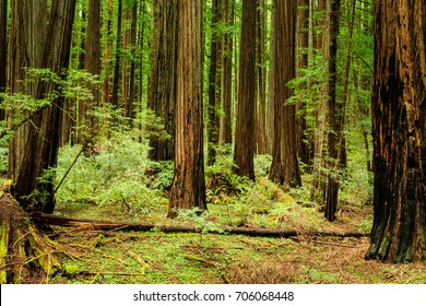Lush green dense redwood forest