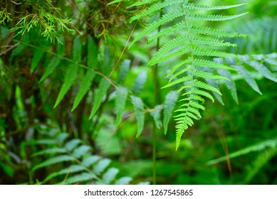 Lush Green Fern Leaves in Tropical Rainforests