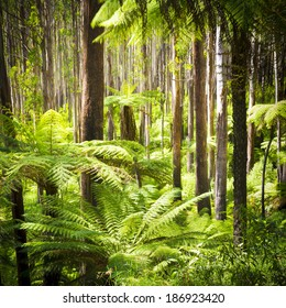 Lush green ferns, tree ferns and towering mountain ash along the Black Spur, Victoria, Australia