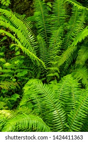 Lush green ferns in tropical rain forest.