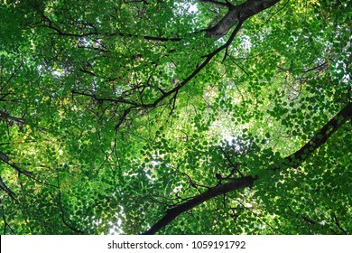 Lush green foliage of trees and clear sky in a forest. Warm spring sun shining through the canopy of tall trees. Bushy green leaves on a branch in thick summer forest, outdoor landscape