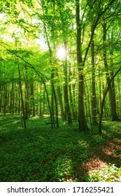 Lush green fresh beech forests with sunshine