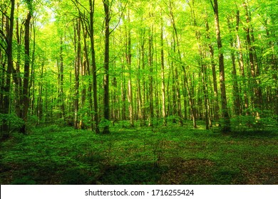 Lush green fresh beech forests