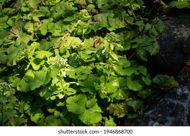 Lush green fresh butterbur leaves growing wildly water's edge in the forest.