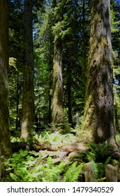 Lush green of Giant Trees Rainforest in the Cathedral Grove on Vancouver Island, MacMillan Provincial Park Canada