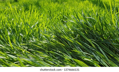 Lush green grass in sunlight after rain. Grass texture with dew drops after rain. High blades of grass at meadow. Fresh plants background. Spring growth backdrop.