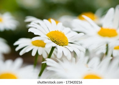 Lush green grasses and crisp white oxeye daisies