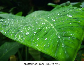 Lush green leaf covered in droplets of rain water, rainy season on a Caribbean island, large leaf selective focus.