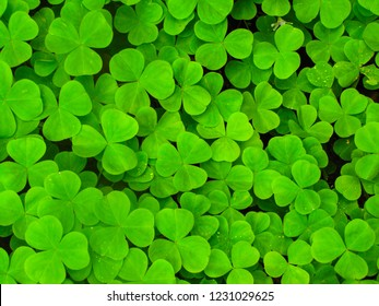 Lush green leaves of the clover plants