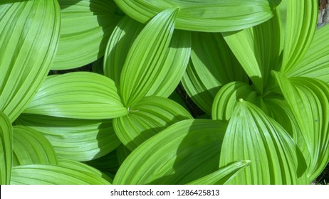 lush green leaves growing in mt baker wilderness in the us pacific northwest
