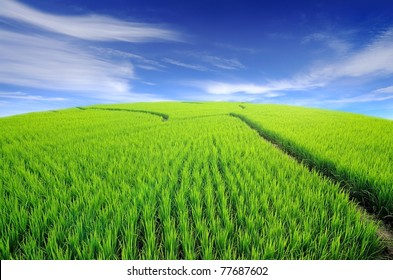 Lush green rice field and blue sky, In Asia