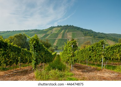 The lush green rows of grapes. Beautiful vineyard landscape in Germany. In the background a hill with a beautiful landscape. The Moselle wine region. Riesling grapes.