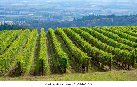 Lush green rows of grapevines in an Oregon vineyard lead over a hill, a blue-tinged valley view in the background, contrasting color against the vines.