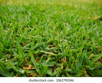Lush and Green Sir Walter Buffalo Lawn Grass