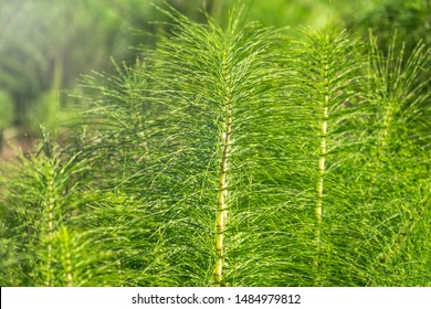 Lush green stems of the field horsetail with blurry background. Equisetum arvense, the field horsetail or common horsetail, is an herbaceous perennial plant