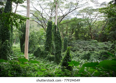 Lush green tropical rainforest vegetation in Hawaii along the Manoa Falls Trail in a scenic nature landscape