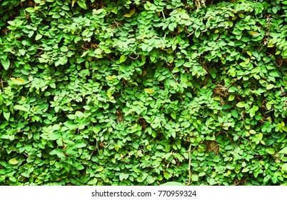 Lush green wall for texture abstract background