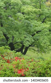 The lush greens of a Japanese garden are broken by red azaleas and dark tree trunks.