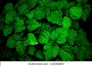 A lush healthy green patchouli plant is wet from being rained on making colors more intense. Scent is used for perfume, aromatherapy, and essential oils.