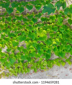 Lush ivy on the wall